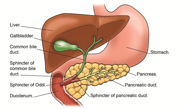 liver&pancreas_text