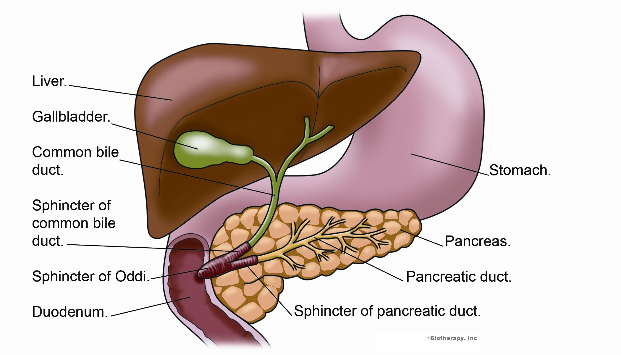 Biotherapy Clinic. liver and pancreas